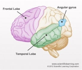 An image of the brain, with the frontal lobe, angular gyrus and temporal lobe pointed out.